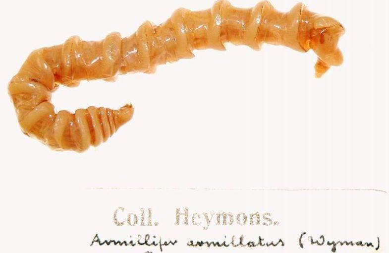 Armillifer_armillatus