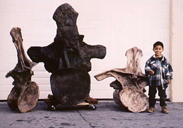 argentinosauus dorsal
