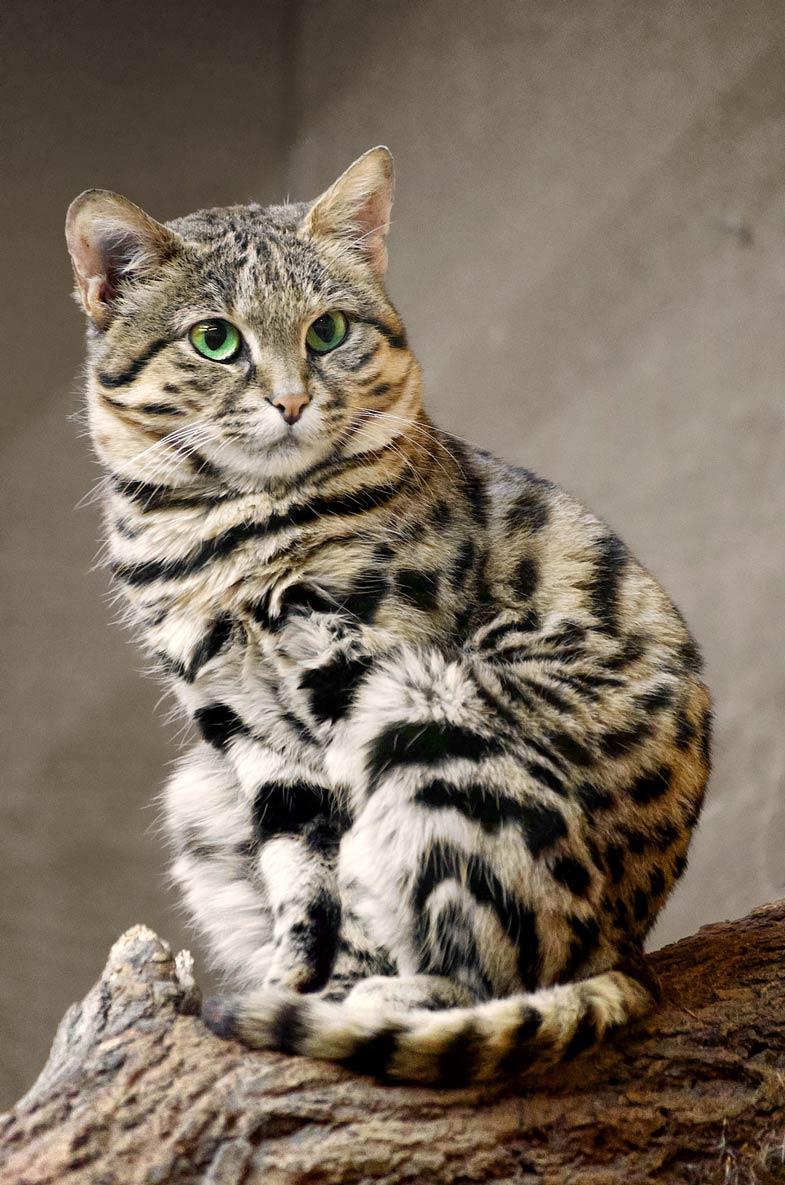 Kot Czarnołapy Najmniejszy Dziki Kot Afrykański