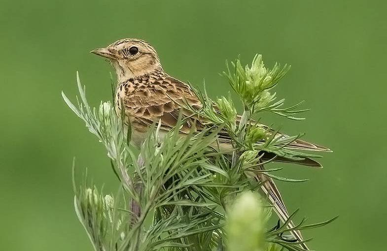 Skowronek Zwyczajny Ptak Zwiastujący Wiosnę Silence Nature