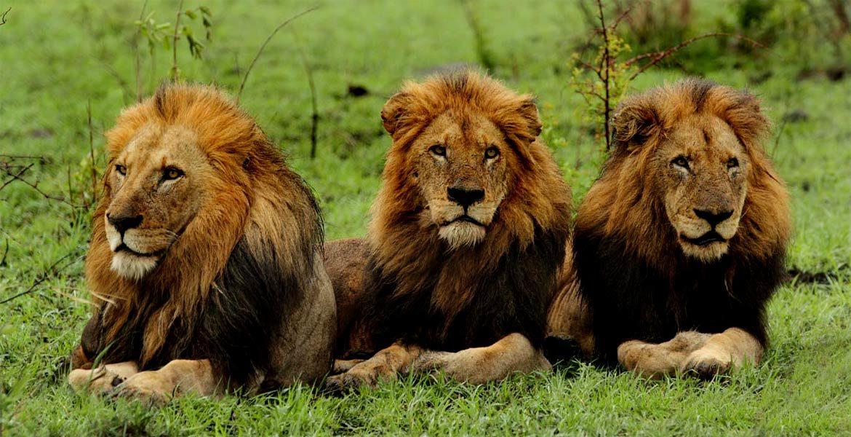 Lwy z Mapogo