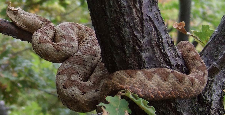 Najjadowitsze węże Europy: Top 5