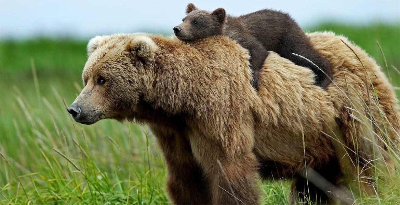 Niedźwiedzie w Polsce