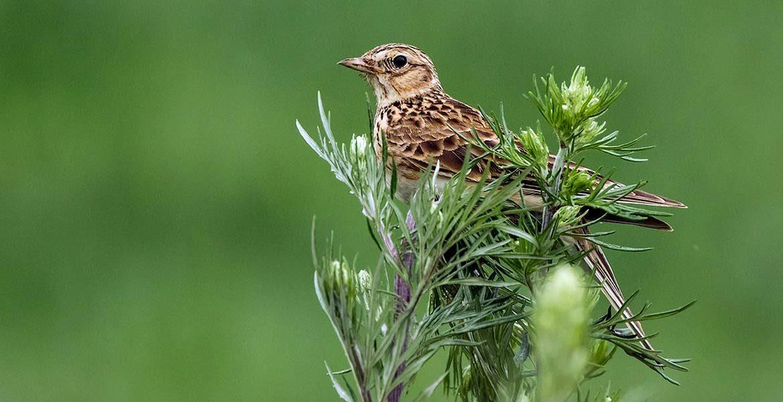 Skowronek zwyczajny – ptak zwiastujący wiosnę