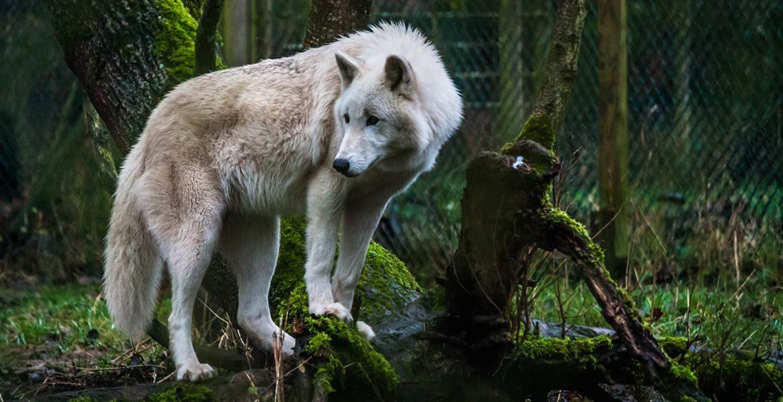 Wilczy park - Wolfspark Werner Freund