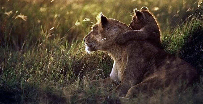 Lew wschodnioafrykański - król zwierząt