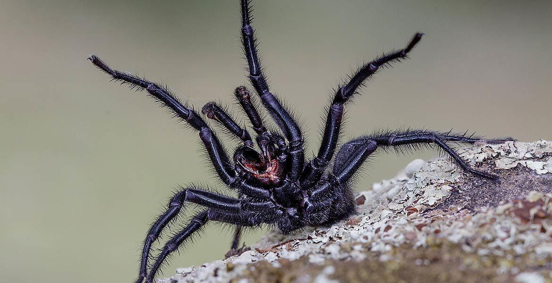 Najjadowitsze pajęczaki Europy: Top 5