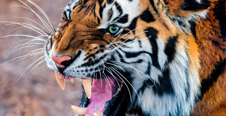 Ludojady: Tygrysy z Chowgarh