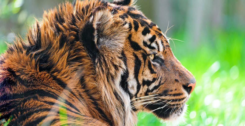 Tygrys balijski, tygrys z wyspy Bali