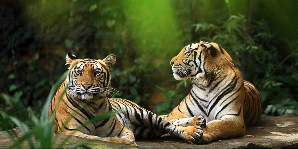 Tygrys balijski