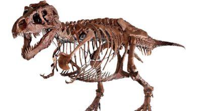 """Photo of Odnowiony szkielet """"Sue"""""""