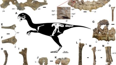 Photo of Gobiraptor minutus – nowy oviraptoryd
