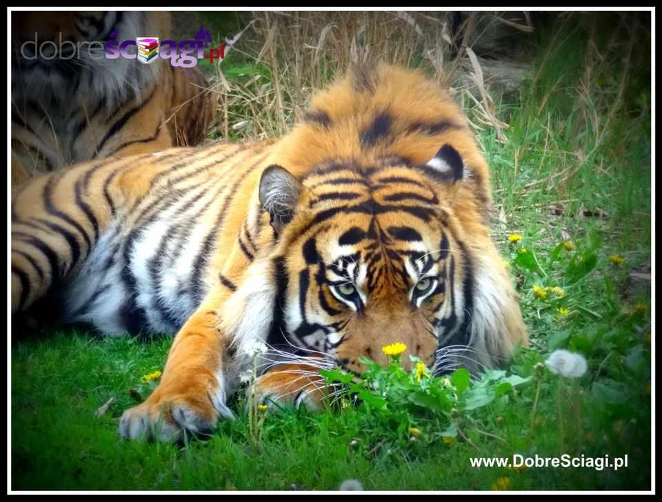 Tygrys, Tiger © by DobreSciagi.pl