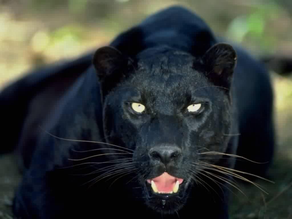 Lampart czarna pantera