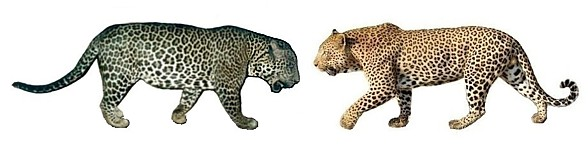 Lampart i jaguar - porównanie.