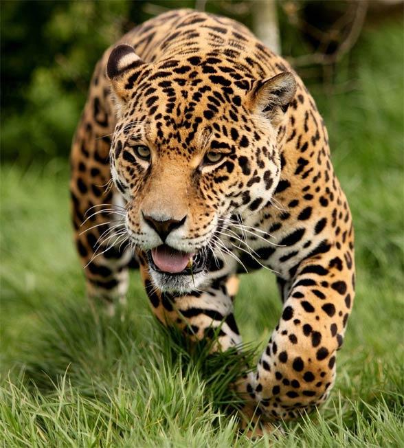 Lampart plamisty, (Panthera pardus)
