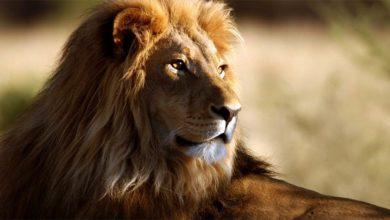 Photo of Lew afrykański – król zwierząt