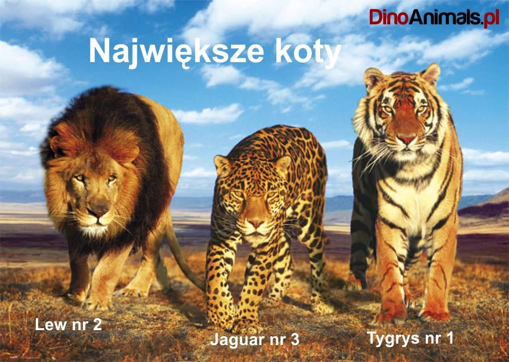 Największe koty / largest cats