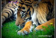 Photo of Tygrys – największy kot