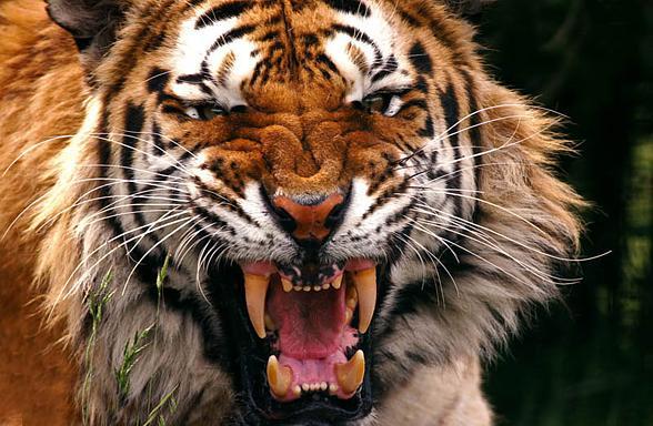 Tygrys - piękny, ale niezwykle groźny kot...