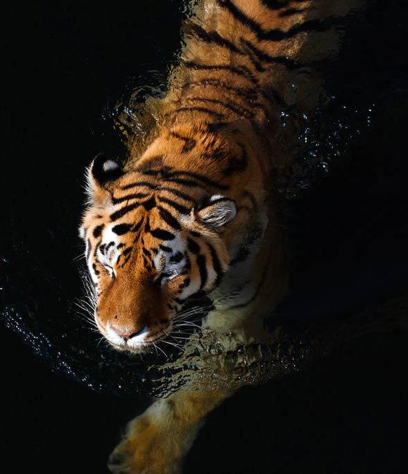 Tygrys jest dobrym pływakiem.