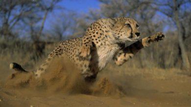 Photo of Gepard – najszybsze lądowe zwierzę świata