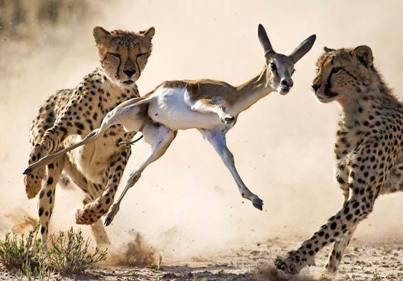 Polowanie młodych gepardów.