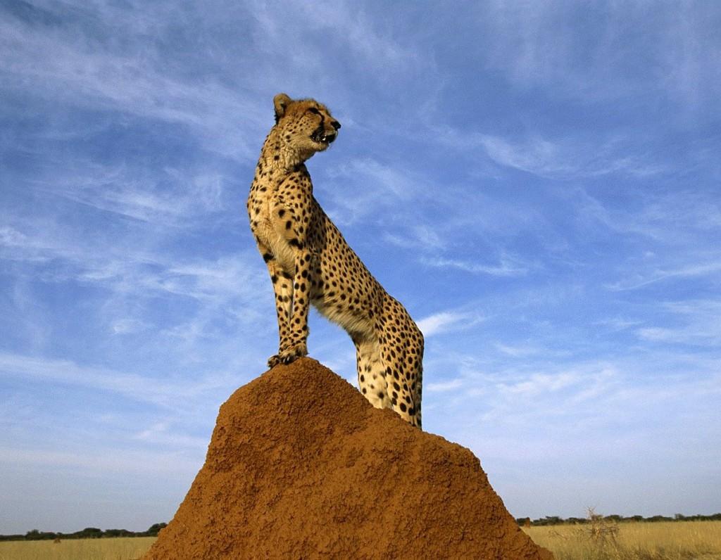 Gepard, cheetah