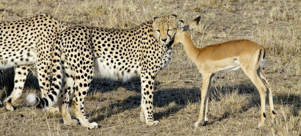 Gepard poluje kiedy jest głodny.