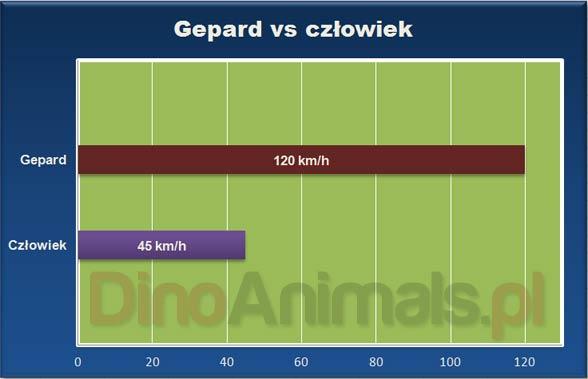 Gepard vs czlowiek