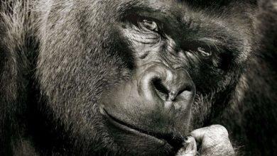 Photo of Goryl – największa małpa na Ziemi