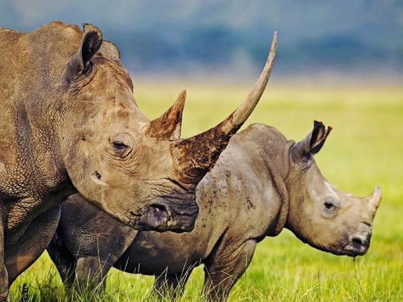 Nosorożec biały (afrykański, szerokopyski, tęponosy).