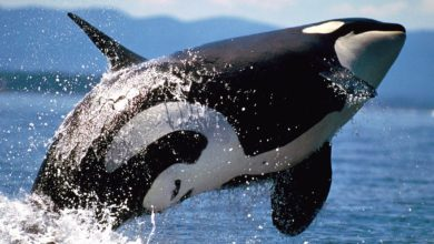 Photo of Orka – postrach oceanów