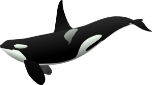 Orka (Orcinus orca)