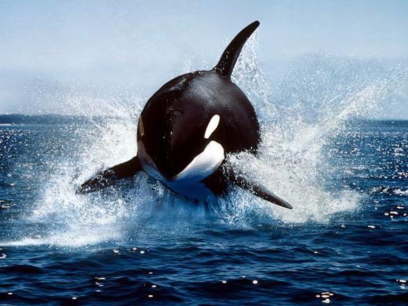 Orka, miecznik (Orcinus orca)