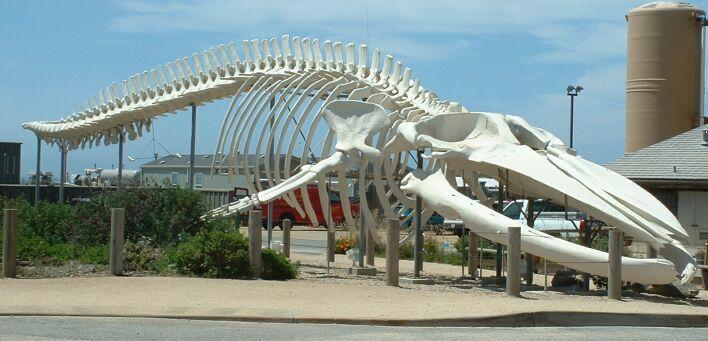 Płetwal błękitny - szkielet