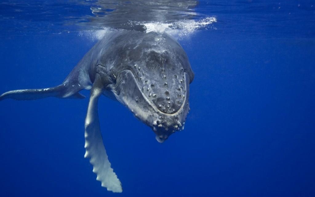 Wieloryby - Płetwal błękitny