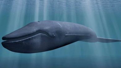 Photo of Płetwal błękitny – król oceanów