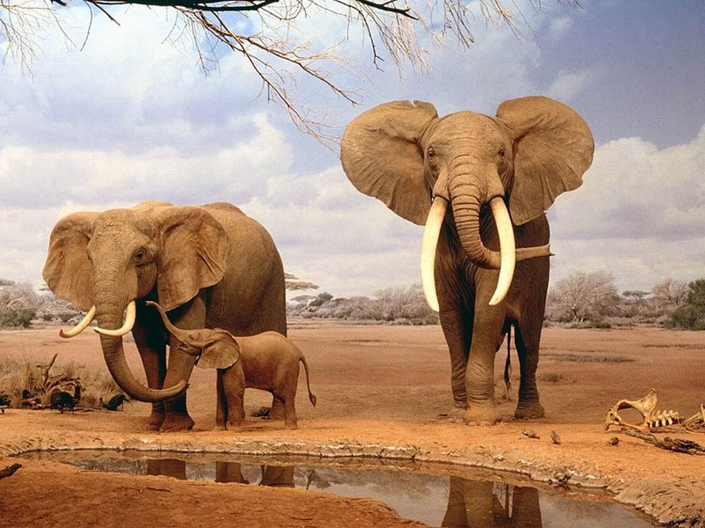 Rodzina słoni.