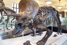 Photo of Triceratops – jeden z najlepiej poznanych dinozaurów