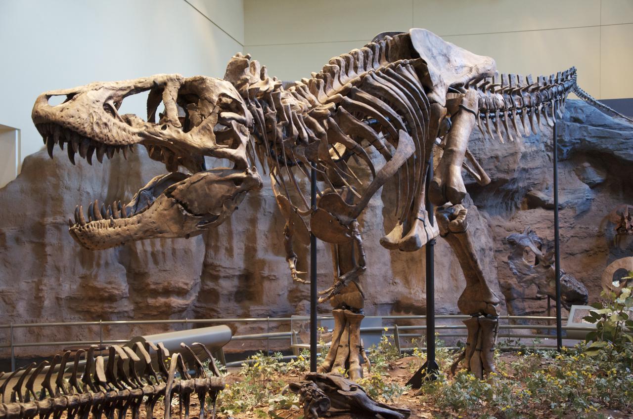 Tyrannosaurus Rex, tyranozaur, t-rex, szkielet