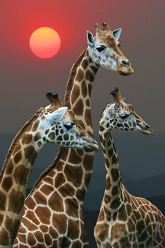 Żyrafa (Giraffa camelopardalis)