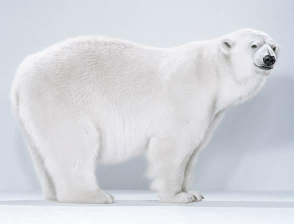 Niedźwiedź polarny (Thalarctos maritimus)
