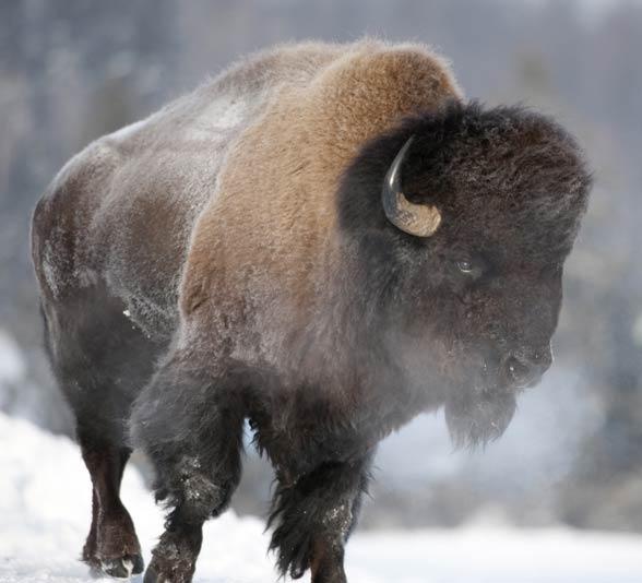 Bizon (Bison bison) / żubr amerykański.