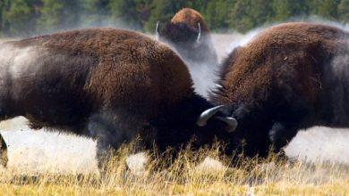 Photo of Bizon – największe zwierzę Ameryki Północnej