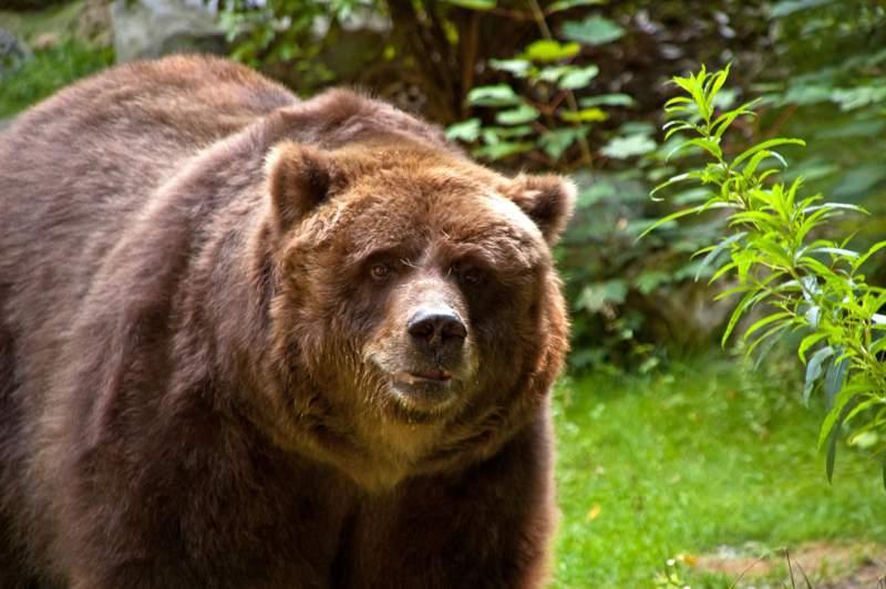 Niedźwiedź brunatny kodiacki (Ursus arctos middendorffi)
