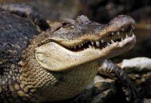 Photo of Krokodyl – najstarszy żyjący gad.