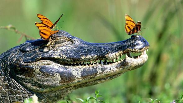 Krokodyl-crocodile-2.jpg