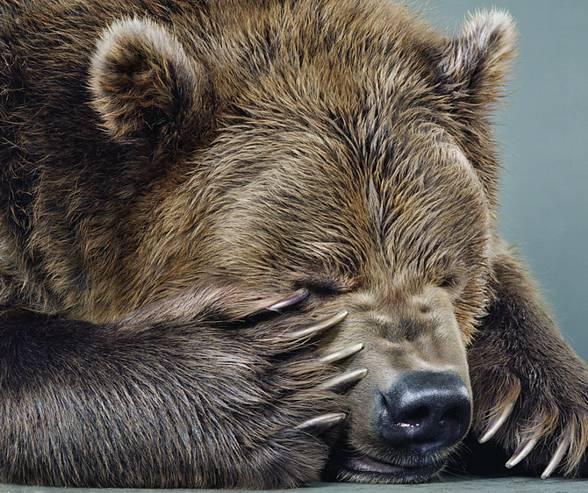 Pazury niedźwiedzia brunatnego mają kilkanaście centymetrów długości.