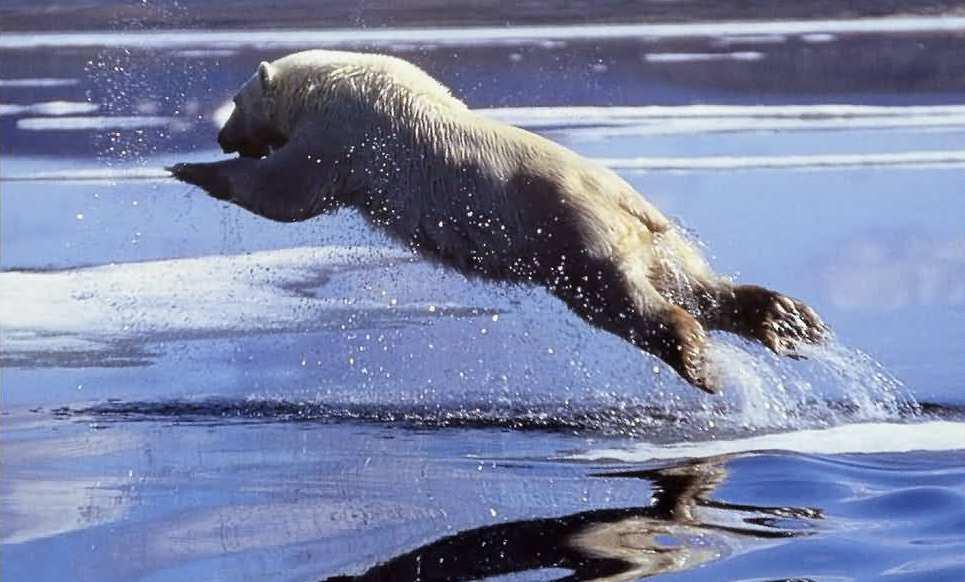 Niedźwiedź polarny.